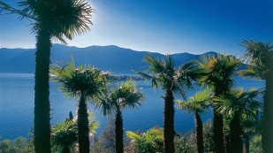 Switzerland. get natural. Palm trees near Ronco high above Lake Maggiore in Canton Ticino. Schweiz. ganz natuerlich. Palmenhain bei Ronco oberhalb des Lago Maggiore, Kanton Tessin. Suisse. tout naturellement. Des palmiers pres de Ronco au-dessus du lac Majeur, canton du Tessin. Copyright by: Switzerland Tourism By-Line: swiss-image.ch/Roland Gerth
